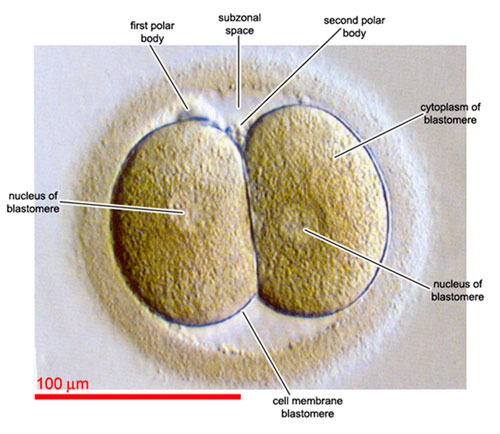 IVF embryo development - embryo symmetry